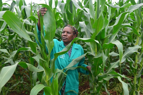 The fight for pesticide free food crop 'integrity' in Africa