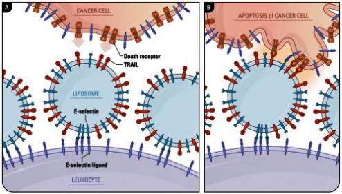 TRIAL protein studies for cancer