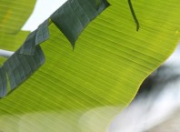 The banana leaf – an eco-friendly plate!