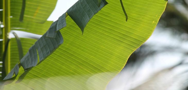 The banana leaf – an eco-friendly plate!