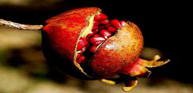 Pomegranate – Benefits for skin and health