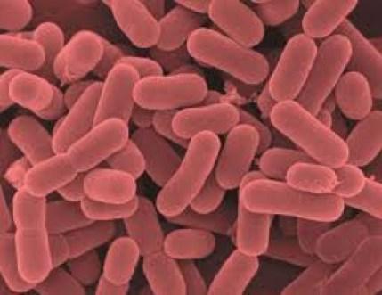 4-lactobacillus-salivarius