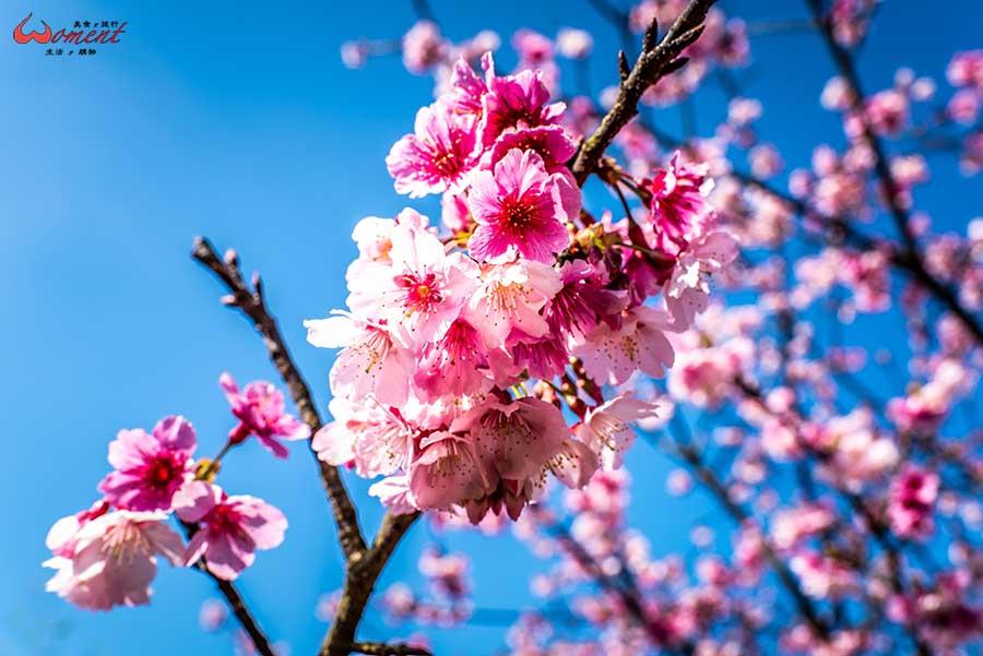 【賞櫻地點總整理(實拍照)】找櫻花更要吃美食,雙北櫻花資訊總整理,私房路線實際拍攝揭秘分享,搶先必看