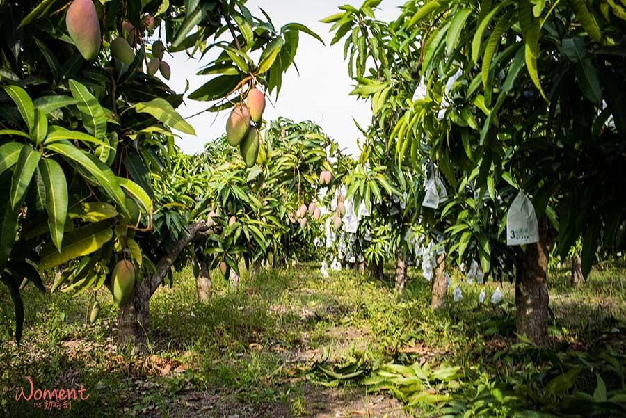 【產地價格熱銷中】2019水蜜桃芒果(紅龍芒果),孫家獨有品種 ,多汁無纖維,為了品嚐產地現採第一口水蜜桃芒果,我們走進果園