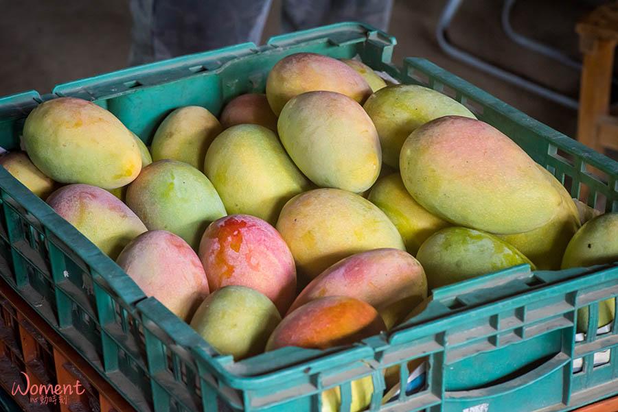 水蜜桃芒果-採收選果