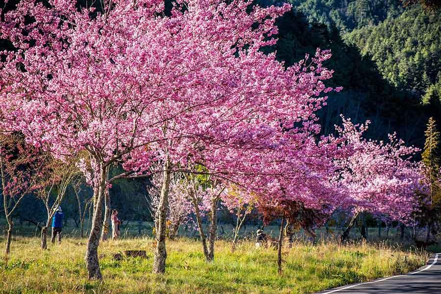 【2019武陵農場花況分享】228連假不管制,開放非住宿小客車進入,園區不同花種接續綻放,請把握今年最後賞櫻機會。