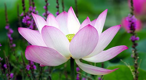 lotus2-512