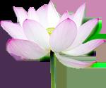 lotus150