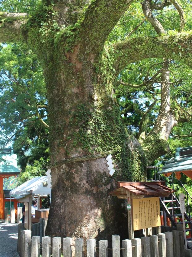 Camphor tree's gate