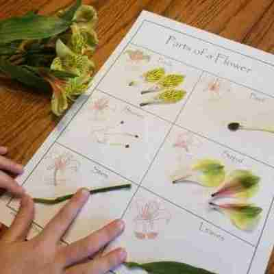 Flower Dissection for Kids