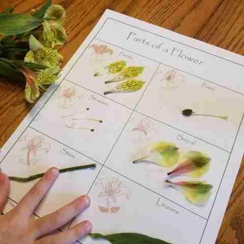 Flower Dissection Sheet