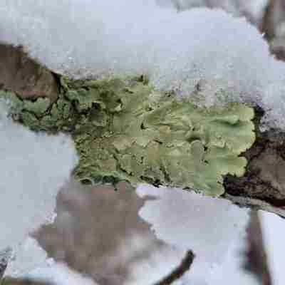 Green Lichen on Branch