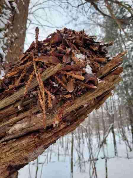 Winter Nature walk- Squirrel Midden in Tree