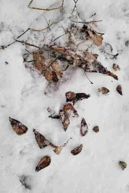 Pine cone scales in snow