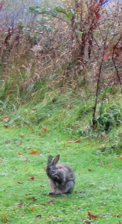 rabbit 245