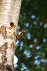 Great Spotted Woodpecker at the nest hole