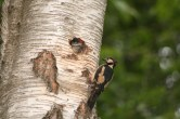 great spotted woodpecker chick poking it head out waiting to be fed by a parent.