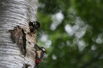 Great Spotted Woodpecker chick and parent about to fed