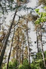 Very tall pine trees