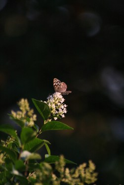 Beautiful Speackled wood butterfly.