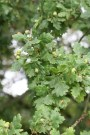 English oak tree acorns.
