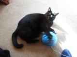 Syrah playing with my ball of yarn