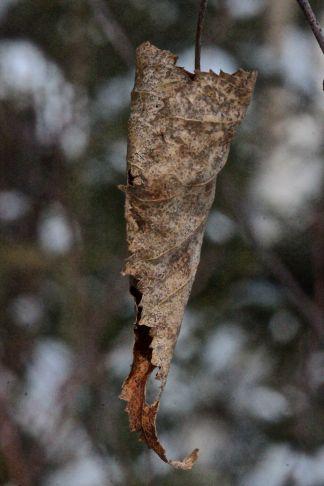 W-gray birch leaf