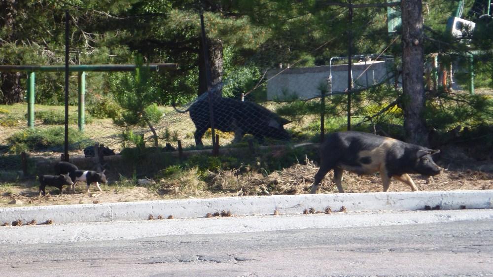 La famille de cochons sauvages