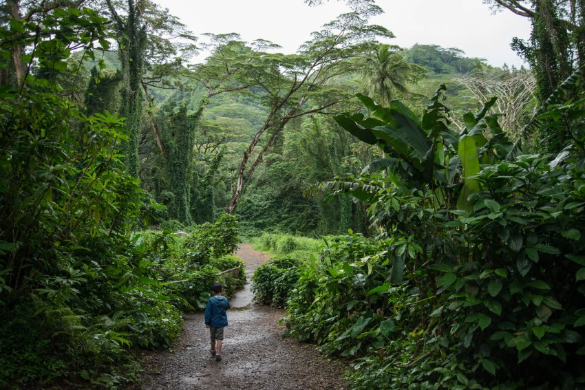 A young boy strides down a jungle trail towards Manoa Falls in Hawaii. He is walking alone in the wet rainforest.