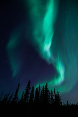 Curtains of green Aurora Borealis streak through the sky and dance over a pine forest in Fairbanks Alaska.