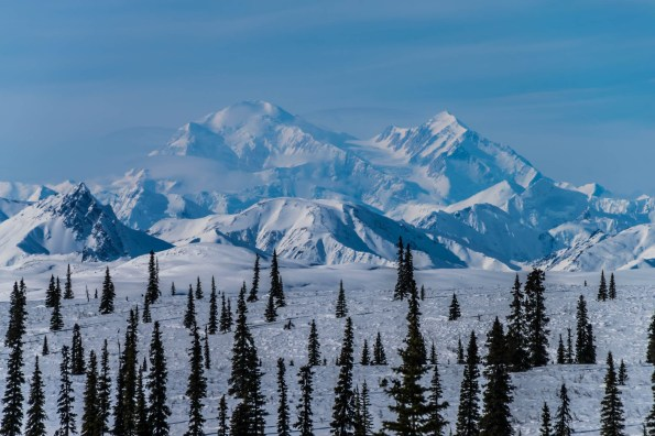Denali, the tallest mountain in North America is seen from the edge of a snow covered pine forest during winter.