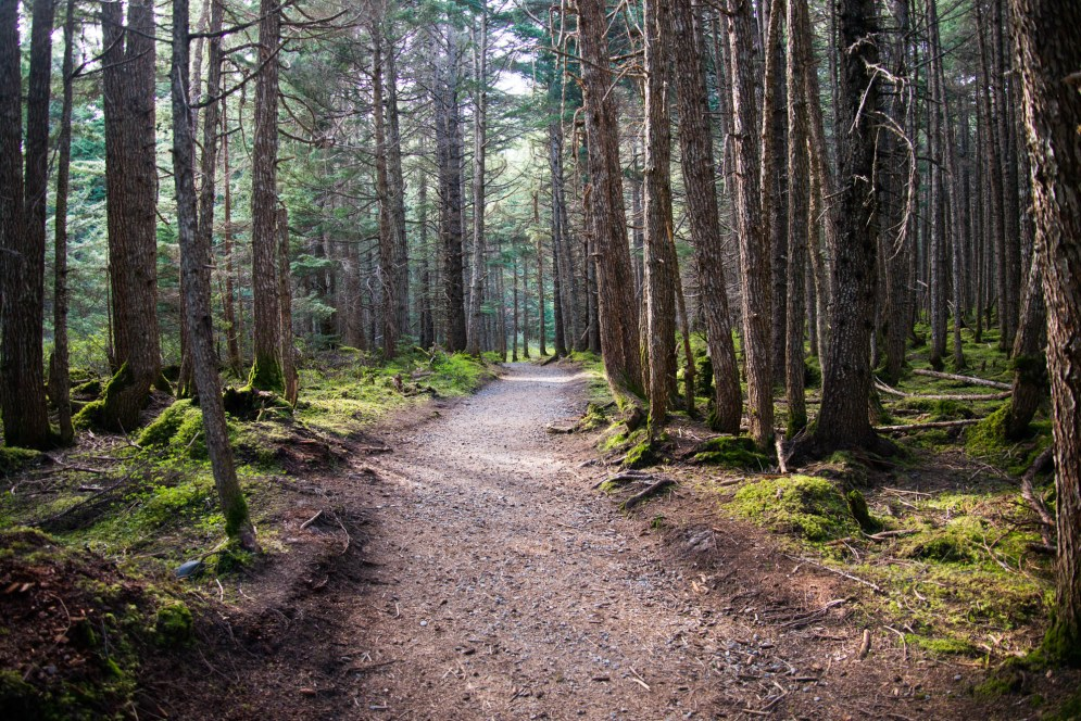 A wide foot trail cuts through a dense boreal rainforest in Girdwoord Alaska. There is moss growing on the forest floor and the trees tops grow out of sight.