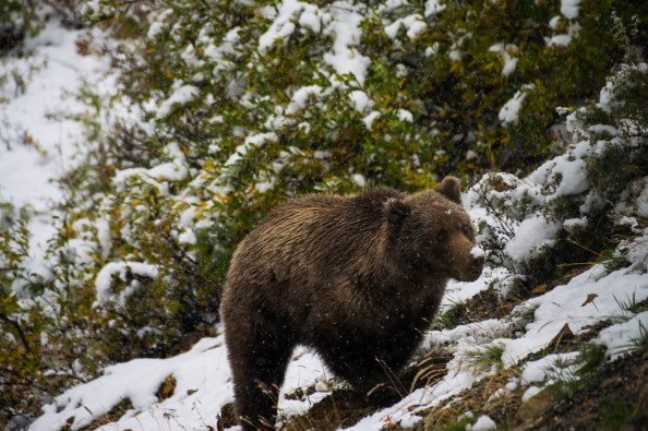 A brown bear in Denali national park looks up with a patch of snow on its nose. Snowflakes are visibly falling from the sky. The bear's eyes are clearly visible and its coat seems slightly wet.