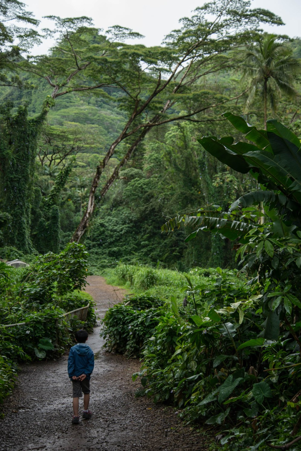 A young boy seen from behind walks by himself down a rainforest trail to Manoa Falls in Hawaii.