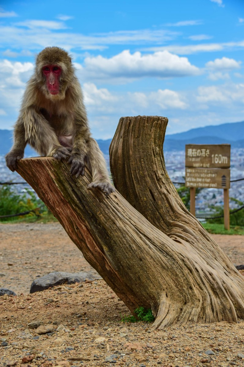 A Japanese red faced Macaque sits calmly on a tree trunk at the Iwatayama Monkey Park in Kyoto, Japan