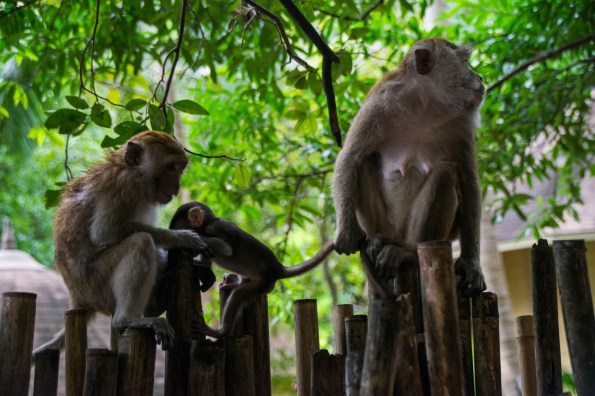 A protective mother monkey is seen holding her babys tail like a leash. The Monkey Family is sitting on old bamboo sticks with a backdrop of leaves. Seen in Railay Beach Thailand.