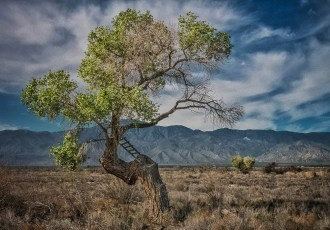Cottonwood Climbing Tree