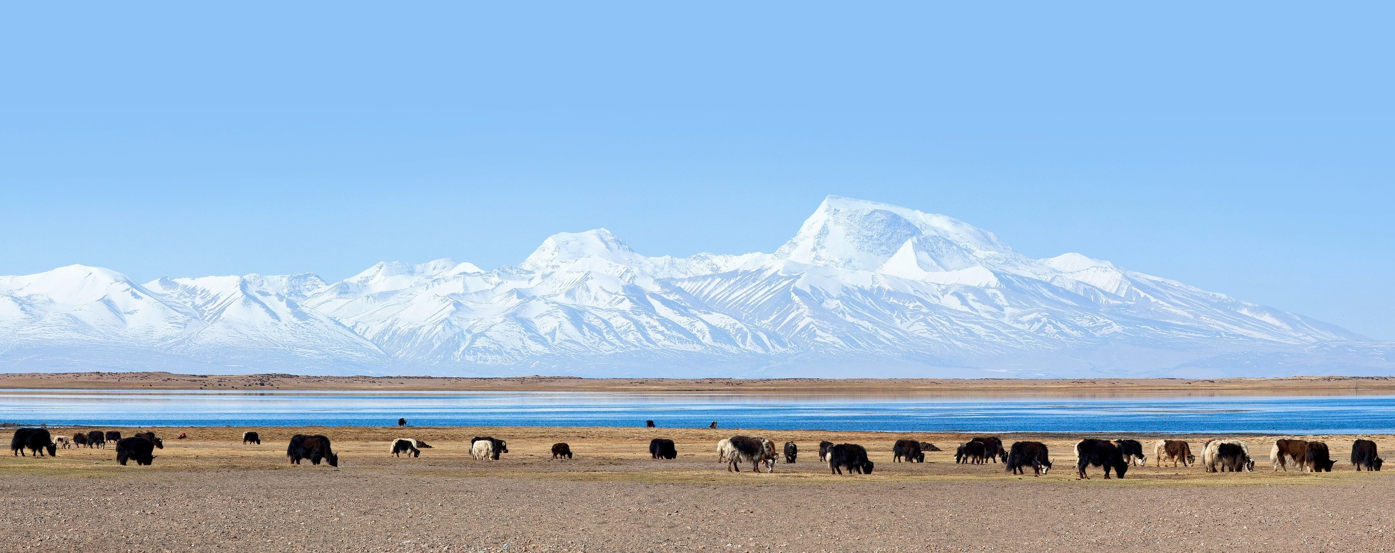 Herd of Yaks by the lake Manasarovar in Tibet