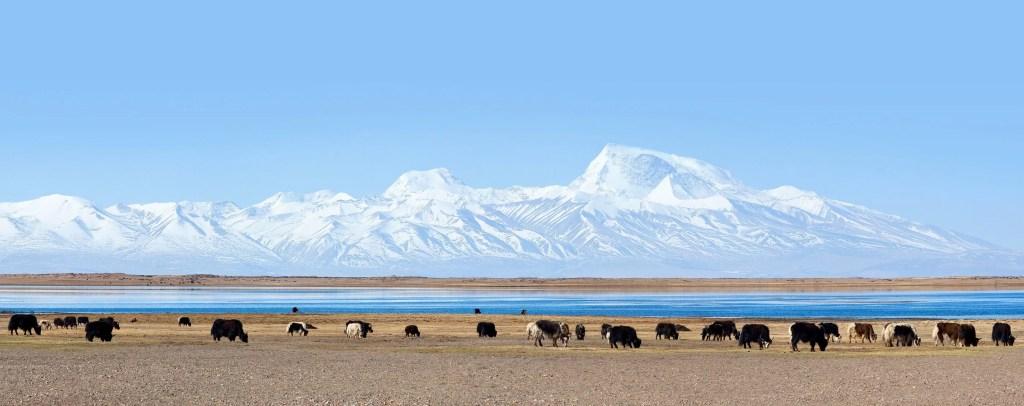 Herd of Yaks by the lake Manasarovar in Tibet