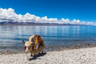 White yak standing on the lakeside of Namtso Tibet