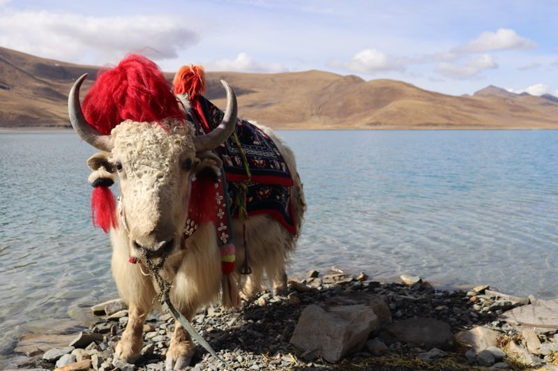 White Yak by the Yamdrok Lake in Tibet