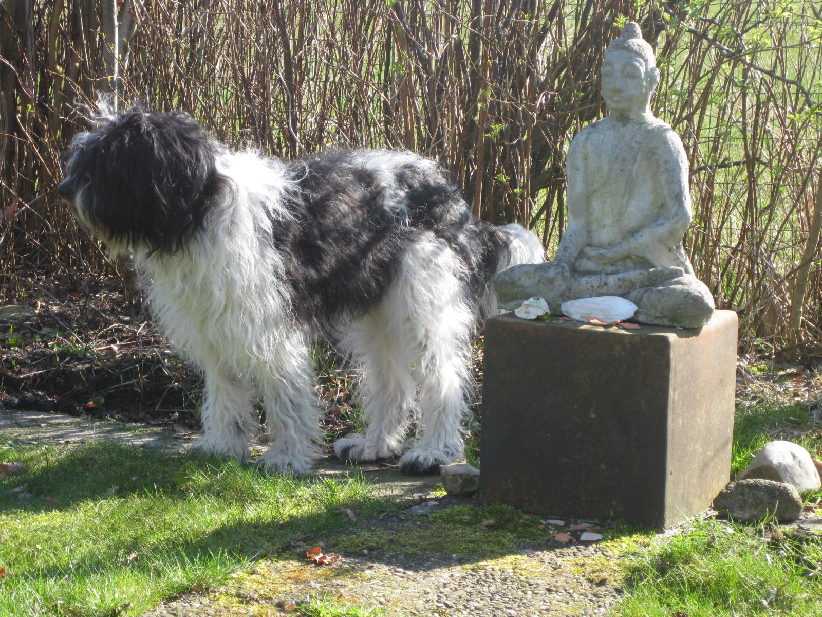 Boeddha hond