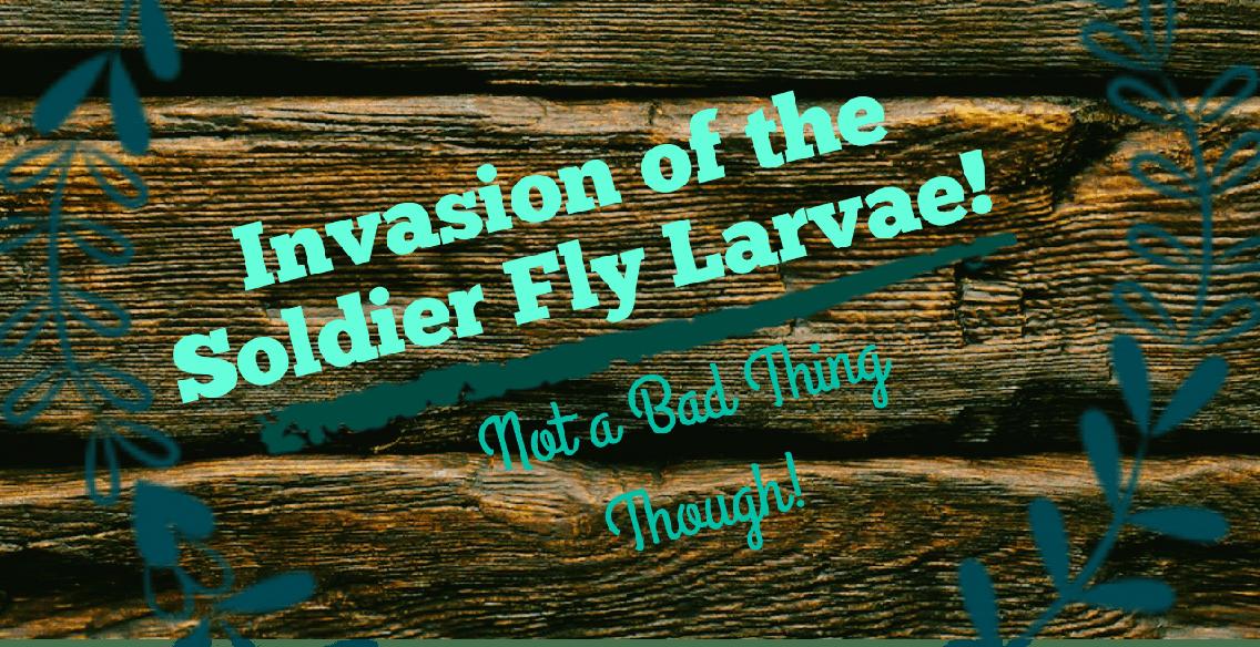 Black Soldier Fly Larvae – 3 Wondrous Acres Homestead