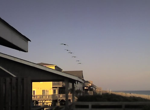 Pelicans on their way - where?