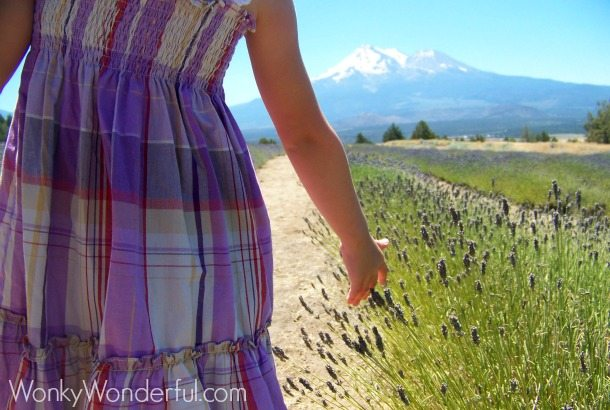 little girl touching tops of lavender with her fingertips