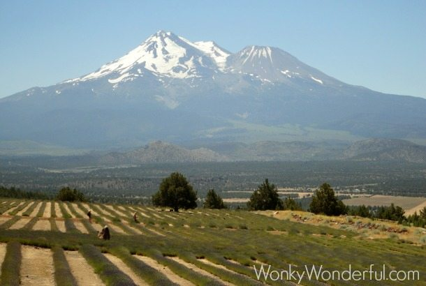 photo of lavender fields with mt Shasta in the background