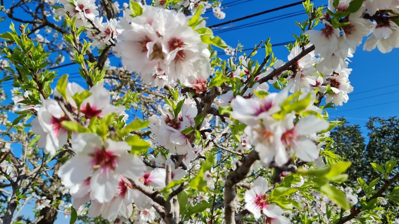 almond_blossom-min