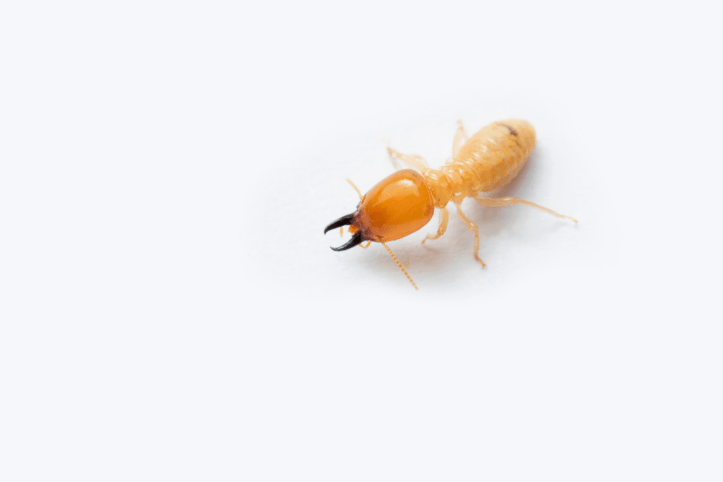 8 bugs you need to protect your home and wood creations from.png