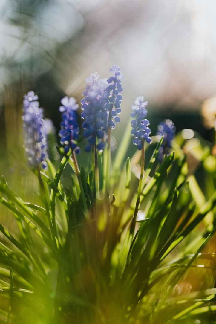 sunlit muscari flowers in garden
