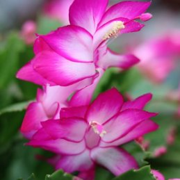 christmas-cactus-close-up